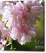Pretty Pink Cherry Blossoms Canvas Print