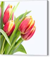 Pretty Red And Yellow Tulips On White Background Canvas Print