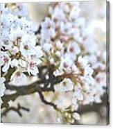 Pretty White Flowering Tree In Spring Canvas Print