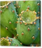 Prickly Pear Cactus 2am-105306 Canvas Print