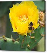 Cedar Park Texas Prickly Pear Cactus In Flower Canvas Print