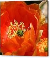 Prickly Pear In Bloom Canvas Print