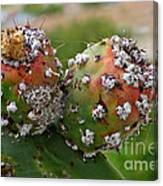 Prickly Pear With Cochineal Bugs Canvas Print
