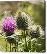 Prickly Youth Canvas Print