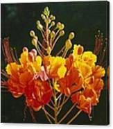 Pride Of Barbados Canvas Print