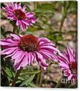 Primadonna Deep Rose Echinacea Canvas Print