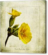Primula Pacific Giant Yellow Canvas Print