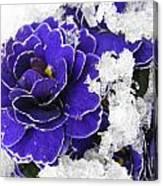 Primulas In The Snow Canvas Print