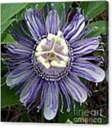 Pristine Passion Flower Canvas Print