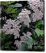 Privet Blossoms 2 Canvas Print