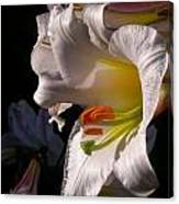 Profile Lilium Regale Canvas Print