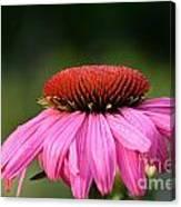 Profiling Echinacea Canvas Print