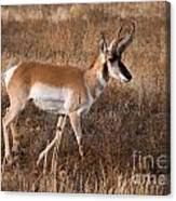 Pronghorn Antelope 2 Canvas Print