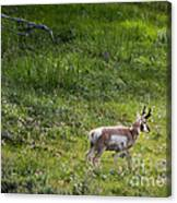 Pronghorn Antelope Among Wildflowers Canvas Print