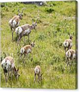 Pronghorn Antelope In Lamar Valley Canvas Print