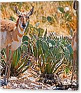Pronghorn Antelope Canvas Print