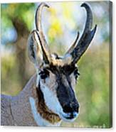 Pronghorn Antelope Portrait Canvas Print