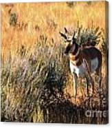 Pronghorn Buck Canvas Print