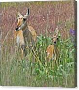 Pronghorn Doe And Fawn Canvas Print