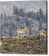 Pronghorn Does Canvas Print