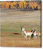 Pronghorn In The Park Canvas Print