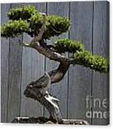 Prostrate Juniper Bonsai Tree Canvas Print