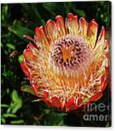 Protea Flower 2 Canvas Print