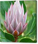 Protea Flower Blossoming Canvas Print