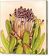 Protea In Autumn Canvas Print
