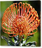 Protea - One Of The Oldest Flowers On Earth Canvas Print