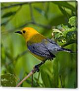 Prothonotary Warble Dsb071 Canvas Print