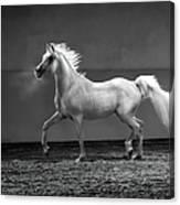 Proud Arabian Horse - Stallion In Canvas Print