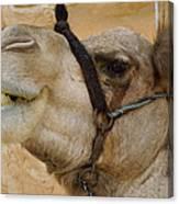 Proud Bou Bou Camel Sinai Egypt Canvas Print