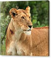 Proud Lioness Canvas Print