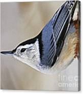 Proud Nuthatch... Canvas Print