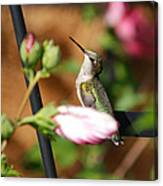 Proudful Little Hummingbird Canvas Print