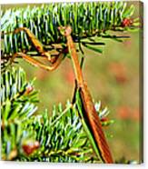 Prying Mantis On The Pine Tree Canvas Print