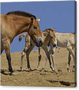 Przewalskis Horse With Two Foals Canvas Print