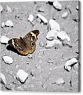 Puddling Butterfly 8766 Canvas Print