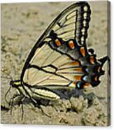 Puddling Eastern Tiger Swallowtail Butterfly Canvas Print