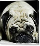 Pug Puppy  Canvas Print