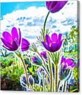 Pulsatilla Vulgaris Flowers Canvas Print