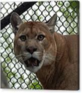 Puma Stare Canvas Print