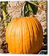 Pumpkin Growing In Pumpkin Field Canvas Print