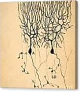 Purkinje Cells By Cajal 1899 Canvas Print