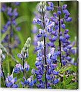 Purple Alaskan Lupines Canvas Print