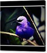 Purple And Blue Robin Canvas Print