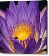 Purple And Bright Yellow Center Waterlily... Canvas Print