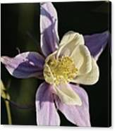 Purple And Cream Columbine Flower Canvas Print