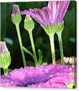 Purple And Pink Daisy Flower In Full Bloom Canvas Print